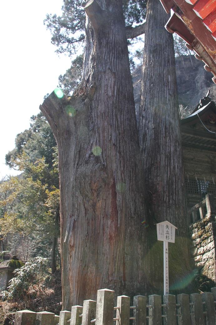 矢立杉.jpg